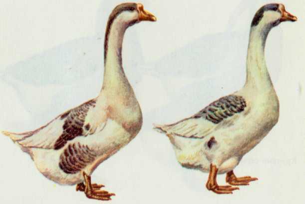 Арзамасские гуси распространены преимущественно в Горьковской области, имею