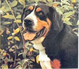 Большая черная собака