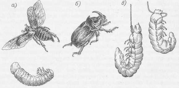 Майский жук и его личинка (а);