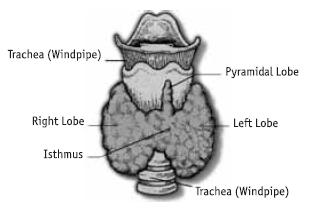 Гормон щитовидной железы называется