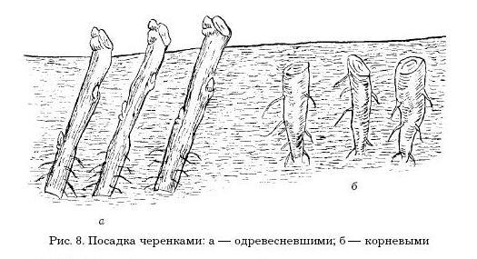 Черенки высаживают по схеме 5