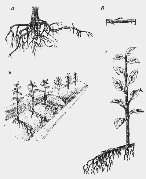 Как размножить вишню черенками