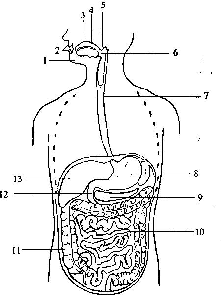 Общая схема пищеварительного