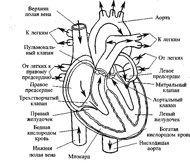 Как выглядит сердце (в разрезе
